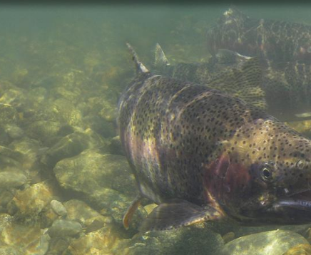 Review and Comparison of Agency Strategies and Actions for Central Valley Listed Salmonids